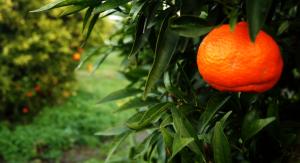 mandarini_vechno